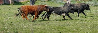 Visita a una ganadería de toros bravos
